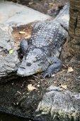 Gros crocodile — Photo