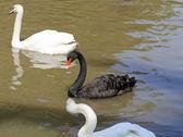 White and black swan — Stock Photo