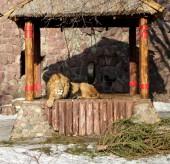 Big beautiful lion   — Stock Photo
