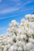 Cotton grass on a background of blue sky — Stock Photo