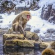 Macaque — Stock Photo #52627627