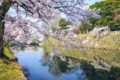 Cherry Blossoms in Hikone, Japan — Stock Photo