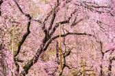 Spring Cherry Trees — Stock fotografie