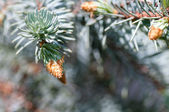 Young fir branch with cones — Stock Photo