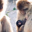 Barbary Macaques — Stock Photo #52900505
