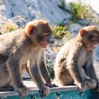 Barbary Macaques — Stock Photo #71066525