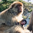 Barbary Macaques — Stock Photo #71066533