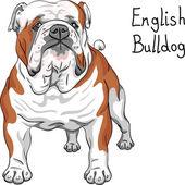 Vector sketch dog English Bulldog breed — Stock Vector