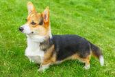 Собака улыбается Вельш корги пемброк — Стоковое фото