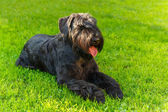 Domestic dog Black Giant Schnauzer breed — Zdjęcie stockowe