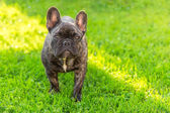 Cute domestic dog brindle French Bulldog breed — Stock Photo