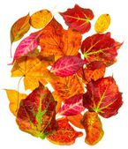 A selection of back lit autumn fall leaves — Stock Photo