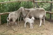 Milk lamb — Stock Photo