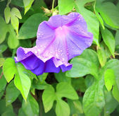 Morning Glory flower with drops — Stock Photo