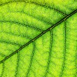 Green leaf close-up — Stock Photo #66471359