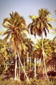 Palm trees in Cuba — Stock Photo