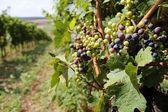 Austria vine — Stock Photo
