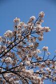 Cherry blossom Tokyo — Stock Photo