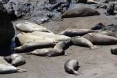 Elephant seals — Stock Photo