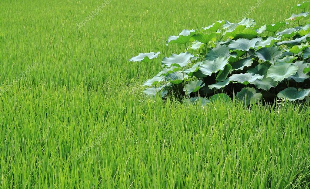 The Growth Of Rice And Lotus Root Stock Photo 93783974
