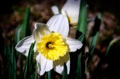 Narcissus flower in Spring time — Stock Photo
