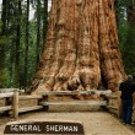General Sherman Tree, — Stock Photo #62628629