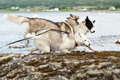 Running huskies dogs — Stock Photo
