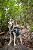 Caminante del perro Husky — Foto de Stock
