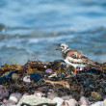 Ruddy Turnstone bird closeup — Stock Photo #81199688