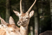 Profile of an young white-tailed deer — Stock Photo