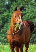 Portrait of chestnut arabian horse — Stock Photo