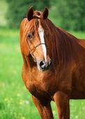 Portrait of chestnut beautiful horse — Stock Photo