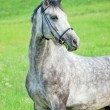 Portrait of grey horse in bridle in the field — Stock Photo #52385007