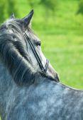Portrait of grey horse, closeup — Stock Photo