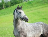 Portrait of grey horse in the  green field — Stock Photo