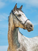 Portrait of grey horse in bridle at blue sky background — Stock Photo