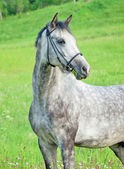 Portrait of grey horse in bridle in the field — Foto Stock