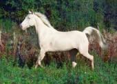 Running beautiful palomino horse at freedom — Photo