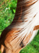 Portrait of  palomino horse. close up — Stock Photo