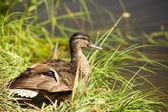 野鸭 — 图库照片