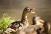 Mother duck — Stock Photo