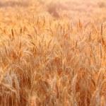 Golden sunset over wheat field. Outdoors — Stock Photo #52388139