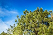 A beautiful krone of coniferous tree against the blue sky backgr — Stock Photo