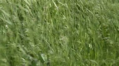 The grass in the wind — Stock Video