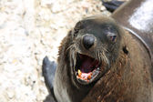 African Seal — Stock Photo