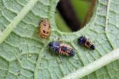Larva slunéčko sedmitečné — Stock fotografie