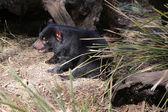 Tasmanian Devil — Stock Photo
