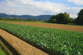Field of cabbage kohlrabi. — Photo