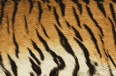 тигр кожи изображение. — Стоковое фото