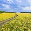 Country road in a barley field — Stock Photo #65382131